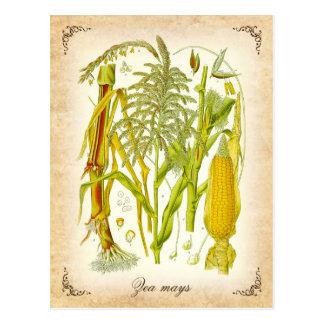 Corn (Maize) - vintage illustration Postcard