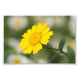 Corn Marigold Photo Print