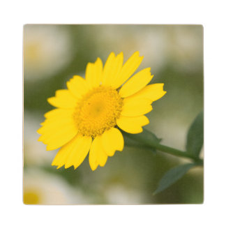 Corn Marigold Wood Coaster