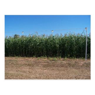 corn maze postcard