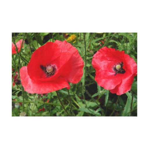corn poppy blooms in red canvas prints