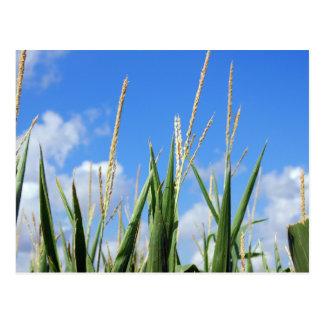cornfield postcard