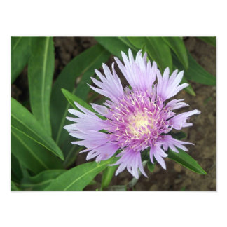 Cornflower Aster Perennial Flower Bloom Photo Art