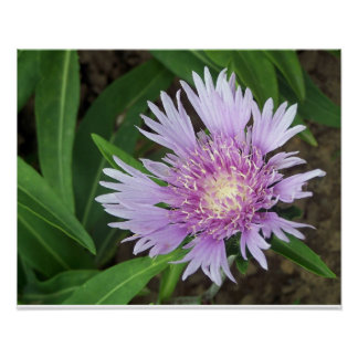 Cornflower Aster Perennial Flower Bloom Poster