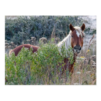 Corolla Wild Horse Postcard