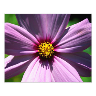 Cosmos and the Bee Photo Print