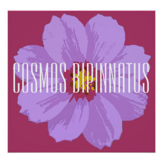 Cosmos bipinnatus - Poster (Matte)