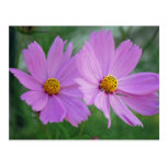 Cosmos flower postcard