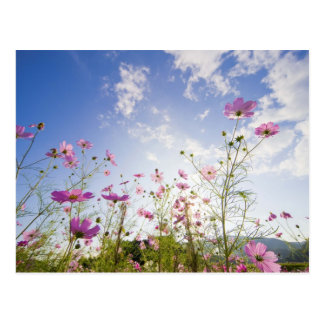 Cosmos flowers. Otsu, Shiga Prefecture, Japan 2 Postcard