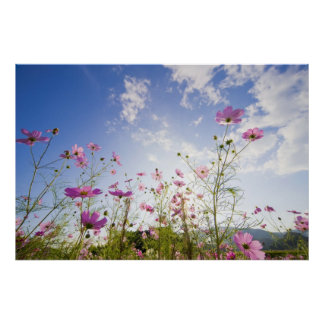 Cosmos flowers. Otsu, Shiga Prefecture, Japan 2 Poster