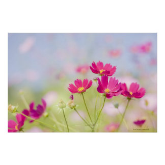 Cosmos flowers poster