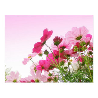 Cosmos in Pink Postcard