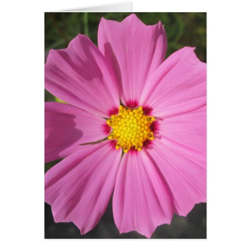 Cosmos Pink Flower Greeting Cards