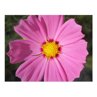 Cosmos Pink Flower Post Card