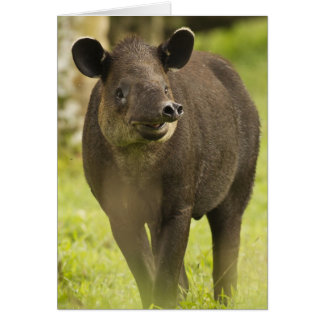 Costa Rica. Bairdis Tapir Tapirus bairdii) Card