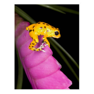 Costa Rica. Close-up of poison dart frog on Postcard