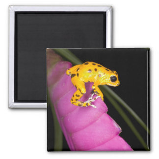 Costa Rica. Close-up of poison dart frog on Square Magnet