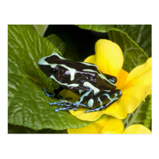 Costa Rica, Osa Peninsula. Close-up of poison Postcard