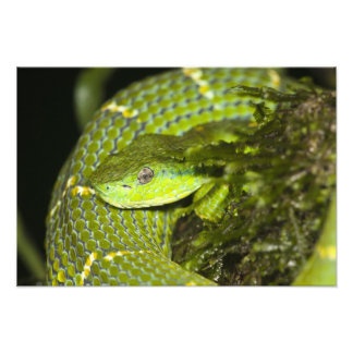 Costa Rica. Striped Palm Viper Bothriechis Photographic Print
