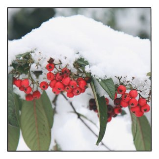 Cotoneaster Fruits with a Snow Hat
