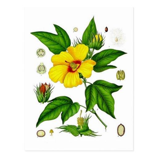 Cotton Blossom Post Card