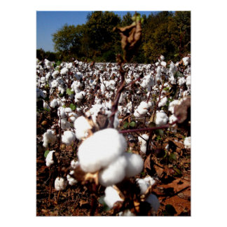 Cotton Field - Murfreesboro, Tennessee Poster