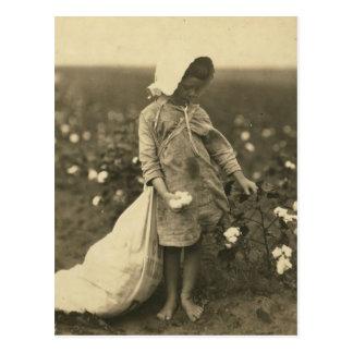 Cotton Field Postcard