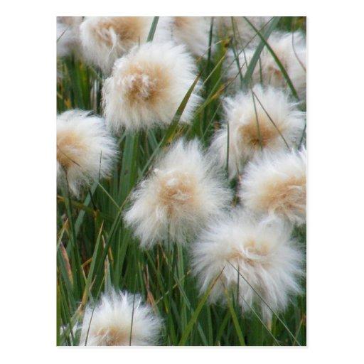 Cotton Grass (Eriophorum russeolum) Postcards