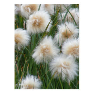 Cotton Grass Eriophorum russeolum Postcards