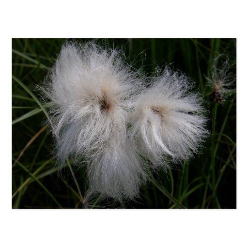 Cotton Grass on Unalaska Island Postcards