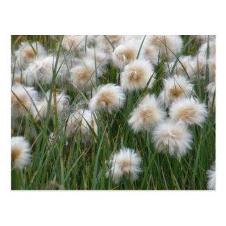 Cotton Grass, Unalaska Island Postcard