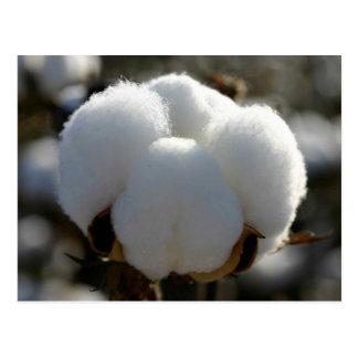 Cotton Plant Postcard