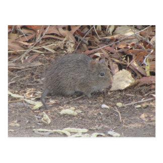 Cotton Rat Post Card