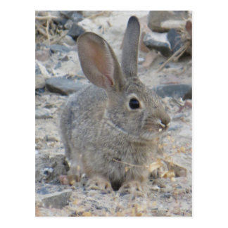 Cotton Tail Post Card