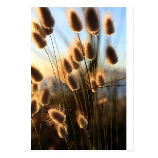 Cotton tail summer coast wild grasses postcard