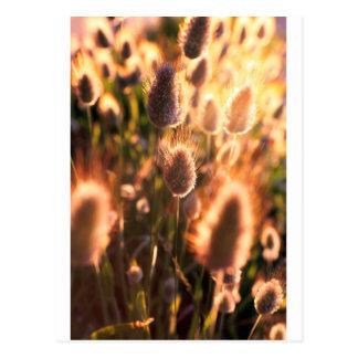 Cotton tails summer grass sunset postcards