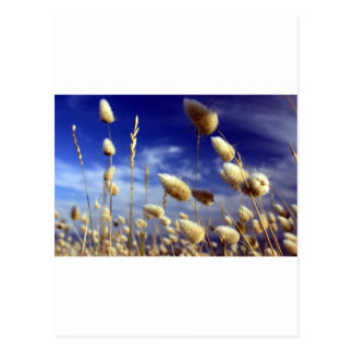 Cotton tails summer grasses post cards