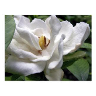 Cotton White Petalscape Postcard