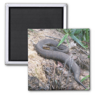 Cottonmouth Snake Basking Square Magnet