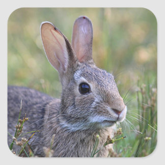 Cottontail rabbit up close square sticker
