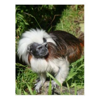 Cottontop Tamarin Monkey Postcard