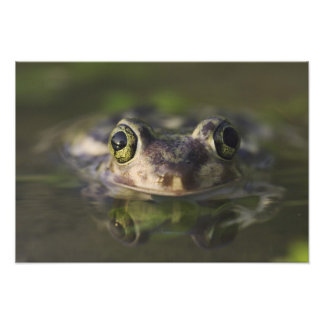 Couch's Spadefoot, Scaphiopus couchii, adult, Photo Print