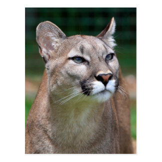 Cougar beautiful photo portrait postcard