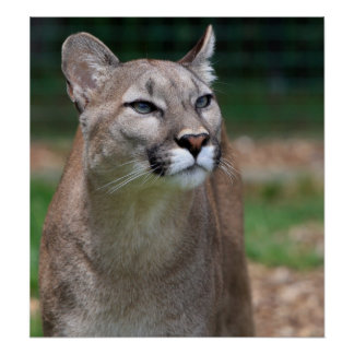 Cougar beautiful photo print poster
