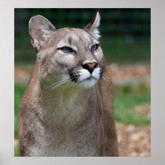 Cougar beautiful photo print,  poster