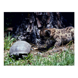 Cougar cub and Tortoise Postcard