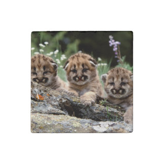 Cougar Cubs Stone Magnet