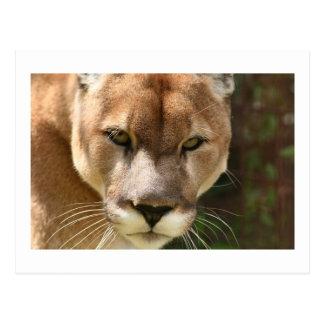 cougar eyes postcard