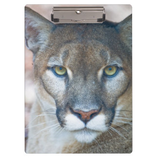 Cougar, mountain lion, Florida panther, Puma 2 Clipboard
