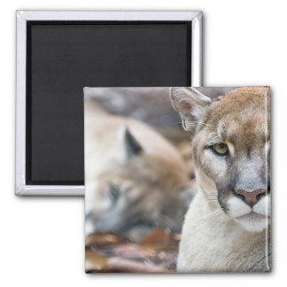 Cougar, mountain lion, Florida panther, Puma 2 Square Magnet